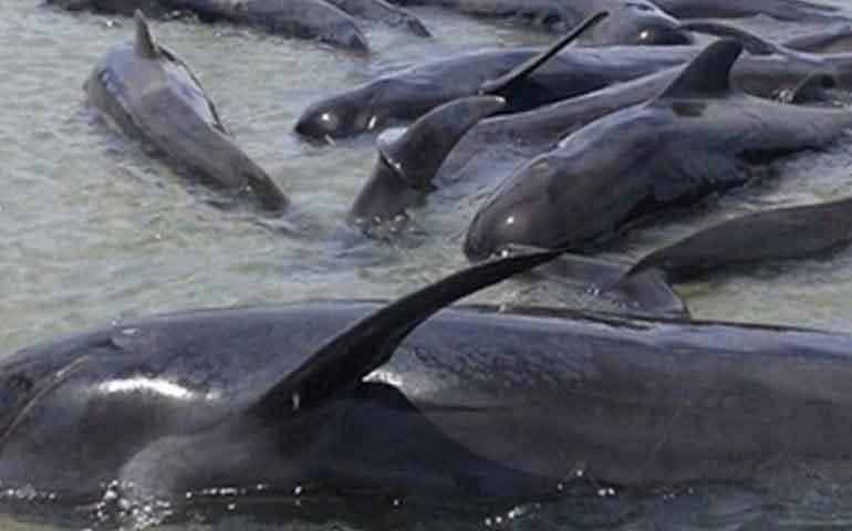 mueren-24-ballenas-en-playa-de-baja-california