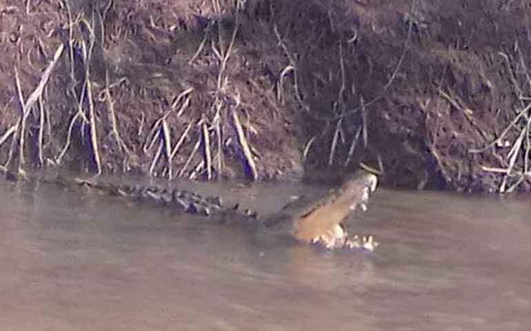 alertan-sobre-presencia-de-caiman-en-los-margenes-del-rio-san-pedro
