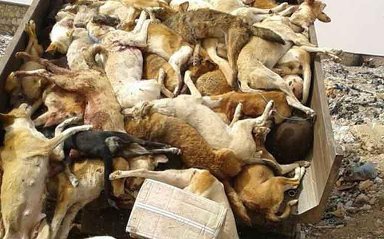 cazan-e-incineran-a-decenas-de-perros-callejeros-en-marruecos