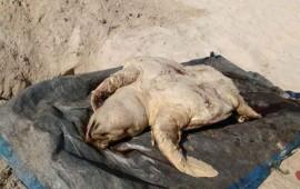 encuentran-48-tortugas-muertas-en-playas-de-sinaloa