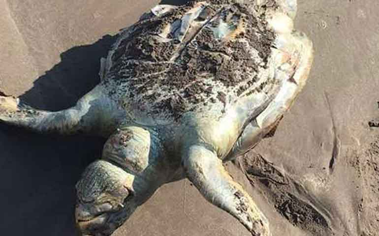 hallan-30-tortugas-muertas-en-playa-de-tecuala