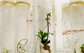 reproducen-platanos-a-partir-del-cultivo-de-tejidos