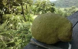 fomentan-cultivo-y-exportacion-de-yaca