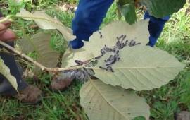 detecta-conafor-plaga-de-gusano-defoliador-en-compostela
