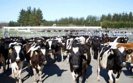roban-500-vacas-de-una-granja-el-dueno-se-muere-de-verguenza