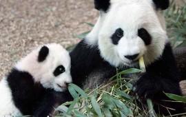 retiran-a-los-pandas-de-las-especies-en-peligro