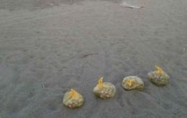 asegura-pgr-380-huevos-de-tortuga-marina-en-compostela