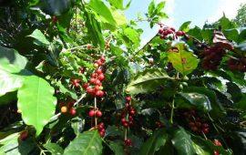 cafe-nayarita-llega-a-inglaterra