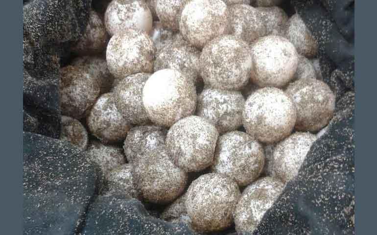 detiene-a-persona-con-posesion-de-208-huevos-de-tortuga-marina
