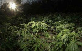 hallan-plantas-de-mariguana-en-huerto-de-prepa-de-culiacan