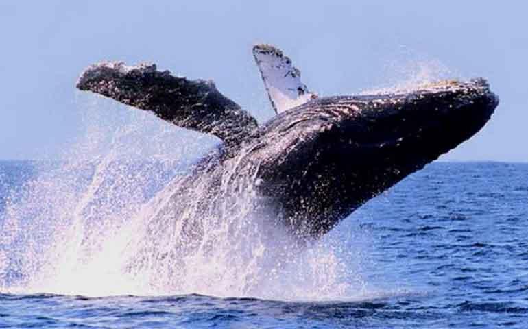 inicia-avistamiento-de-ballenas-jorobadas