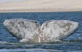 la-temporada-de-avistamiento-de-ballenas-concluira-a-finales-del-mes-de-marzo