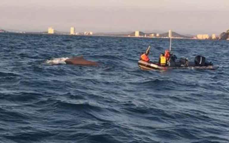 rescatan-a-ballena-que-se-atoro-con-una-cuerda-en-mazatlan