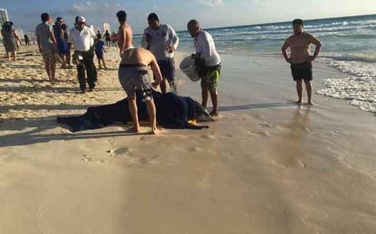 rescatan-a-mas-de-20-delfines-varados-en-playas-de-cancun