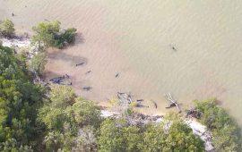 aparecen-muertas-81-orcas-negras-en-la-costa-de-florida