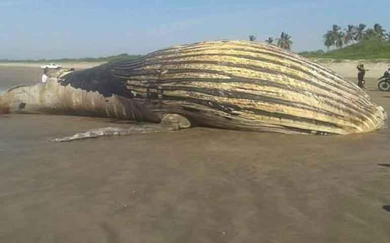 localizan-ballena-muerta-en-playa-de-tecuala