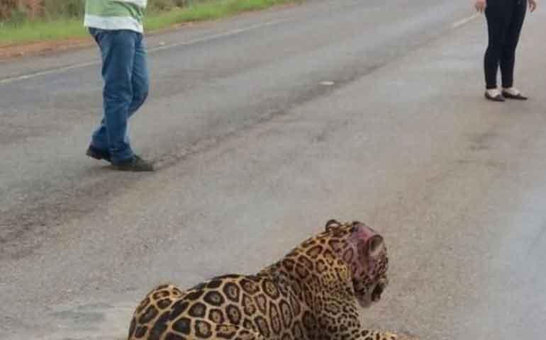 resguardaran-supervivencia-del-jaguar-tras-construccion-de-autopista-las-varas-puerto-vallarta