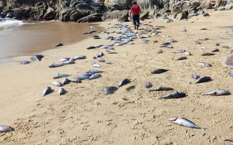 aparecen-muertos-500-peces-en-playa-de-oaxaca
