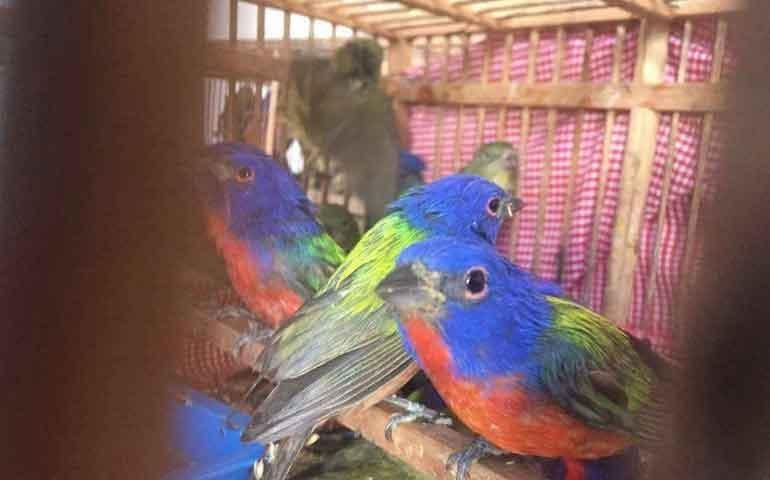 detienen-a-sujeto-que-transportaba-218-aves-mariposa