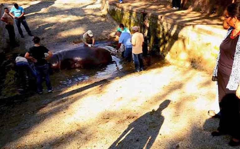 matan-a-golpes-a-gustavito-el-unico-hipopotamo-de-el-salvador