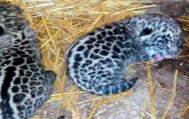 nacen-dos-jaguares-en-san-blas