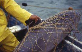 solo-quedan-30-ejemplares-de-vaquitas-marinas