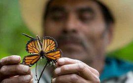 ven-disminucion-en-llegada-de-mariposas-monarcas-a-mexico