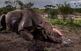 cazadores-irrumpen-en-zoologico-para-arrancar-cuerno-a-rinoceronte