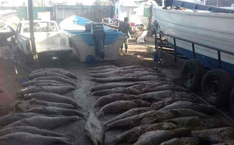 sigue-pesca-ilegal-de-totoaba-hallan-red-con-66-ejemplares-muertos