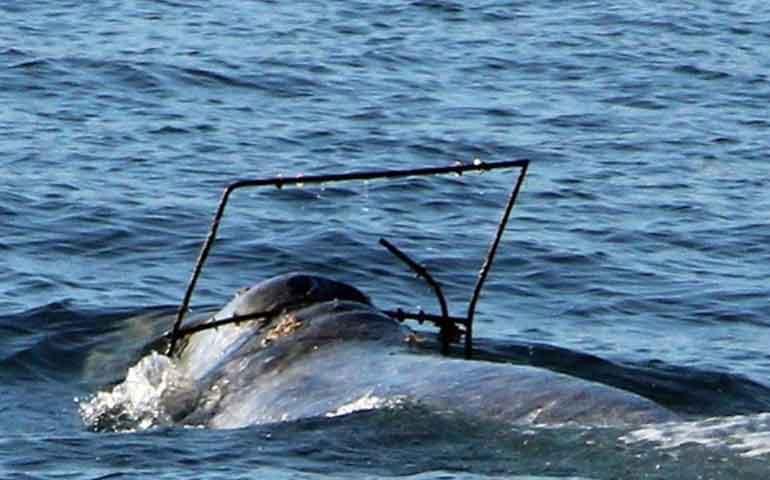 buscan-a-ballena-gris-que-trae-objeto-atorado-intentan-rescatarla