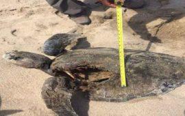 buscan-a-jaguar-come-tortugas-en-playa-de-jalisco