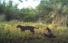 el-jaguar-una-especia-amenazada-que-sobrevive-en-el-estado