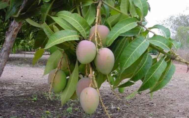 peligra-la-produccion-de-mango