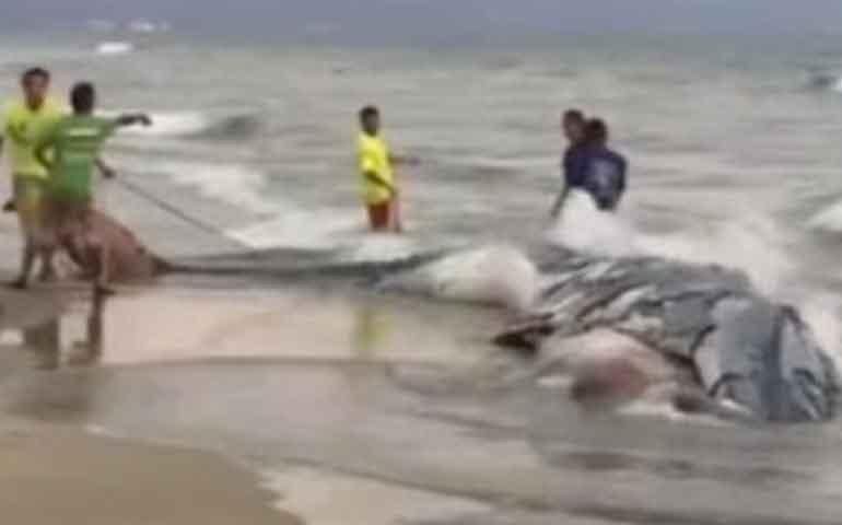 cadaver-de-ballena-es-encontrado-en-playa-de-nuevo-vallarta