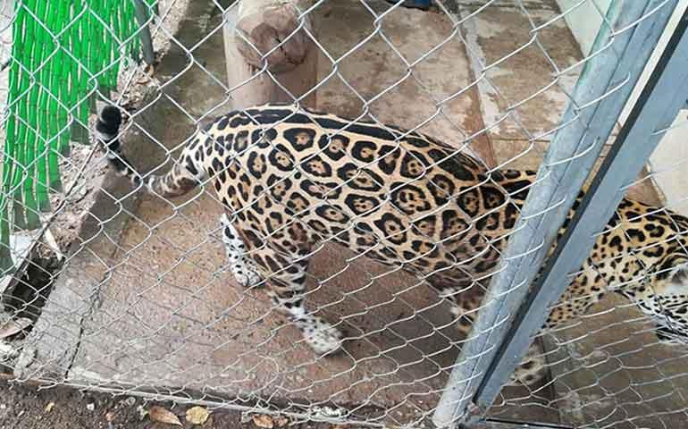 saca-a-pasear-a-su-jaguar-por-calles-de-culiacan-y-se-lo-quitan
