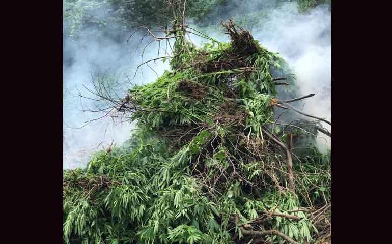 destruye-pgr-plantio-de-marihuana-en-ixtlan-del-rio