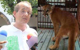 el-puma-encontrado-en-la-colonia-moctezuma-vivia-en-cautiverio