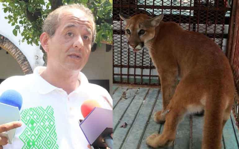 el-puma-encontrado-en-la-colonia-moctezuma-vivia-en-cautiverio