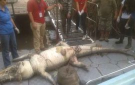 investigan-muerte-de-un-cocodrilo-en-jalisco