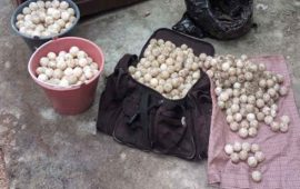 rescata-842-huevos-de-tortuga-marina-en-santiago-ixcuintla-y-tuxpan