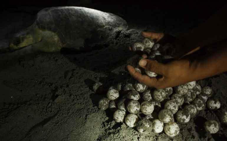 salva-profepa-390-huevos-de-tortuga-en-puerto-vallarta