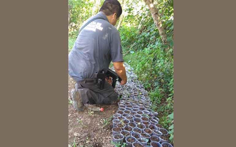 aseguran-mas-de-600-almacigos-de-semillas-de-mariguana-en-ixtlan-del-rio