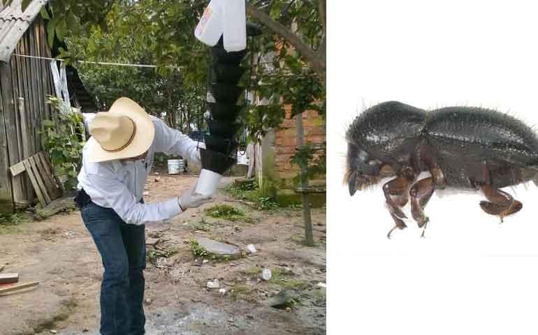 descartan-presencia-de-escarabajo-ambrosial-en-nayarit