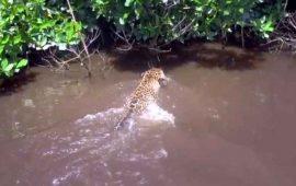 encuentran-jaguar-en-reserva-de-la-biosfera-marismas-nacionales-nayarit