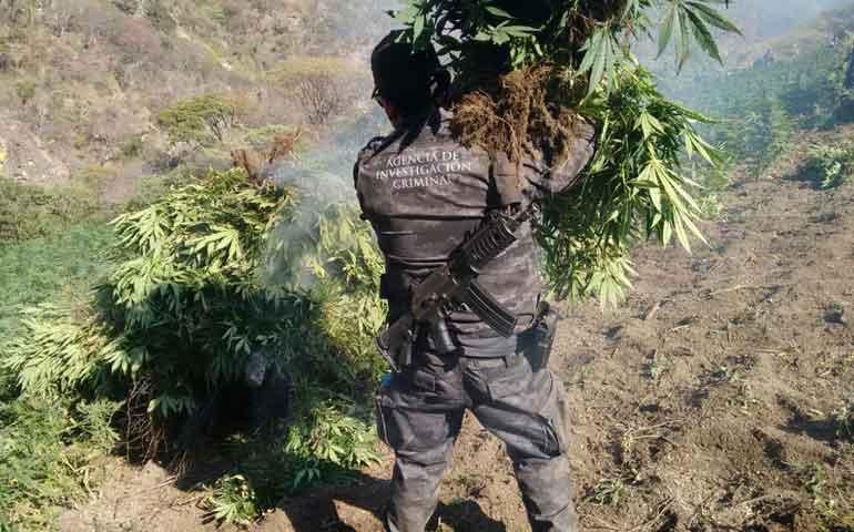 pgr-destruye-3-plantios-de-marihuana-en-ahuacatlan