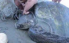 rescatan-tortuga-golfina-enmallada-en-red-de-pesca-en-puerto-vallarta