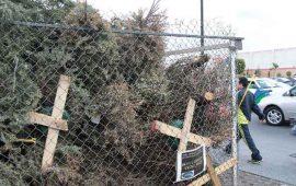 arranca-operativo-de-recoleccion-de-pinos-navidenos-en-tepic