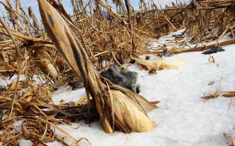 frio-afecta-40-mil-hectareas-de-cultivo-en-tamaulipas