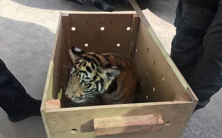 hombre-viajaba-con-tigre-por-calles-de-oaxaca-lo-compre-en-internet-dijo