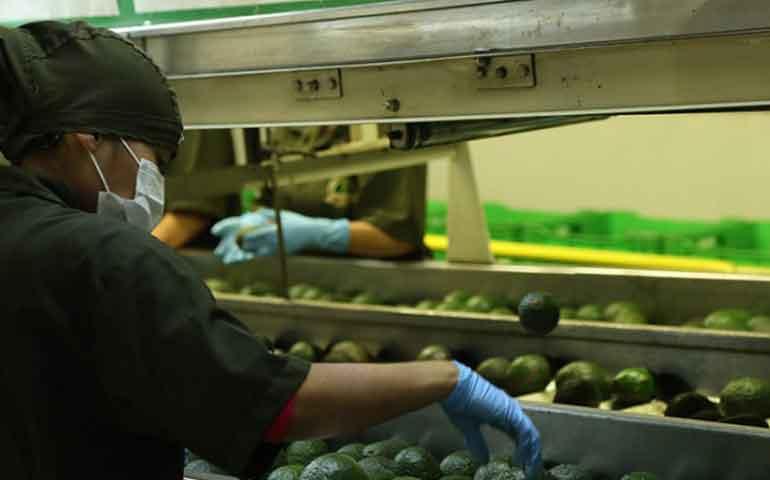 mexico-primer-productor-de-aguacate-en-el-mundo